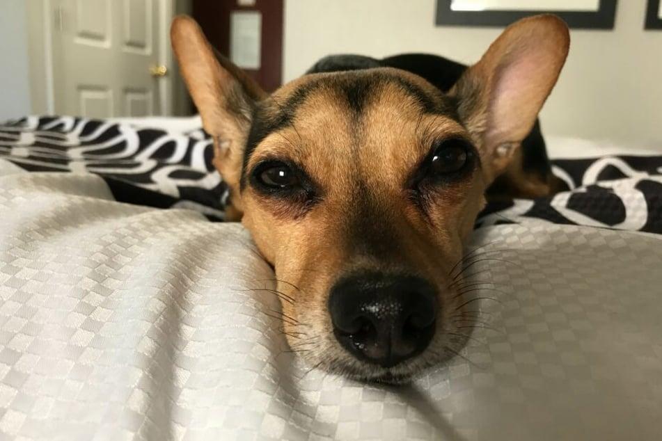 Viele Hunde fühlen sich im Bett ihres Halters pudelwohl.