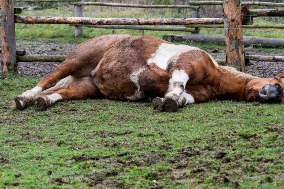 5 Pferde tot! Irrer Brandstifter zündete zwei Ställe an