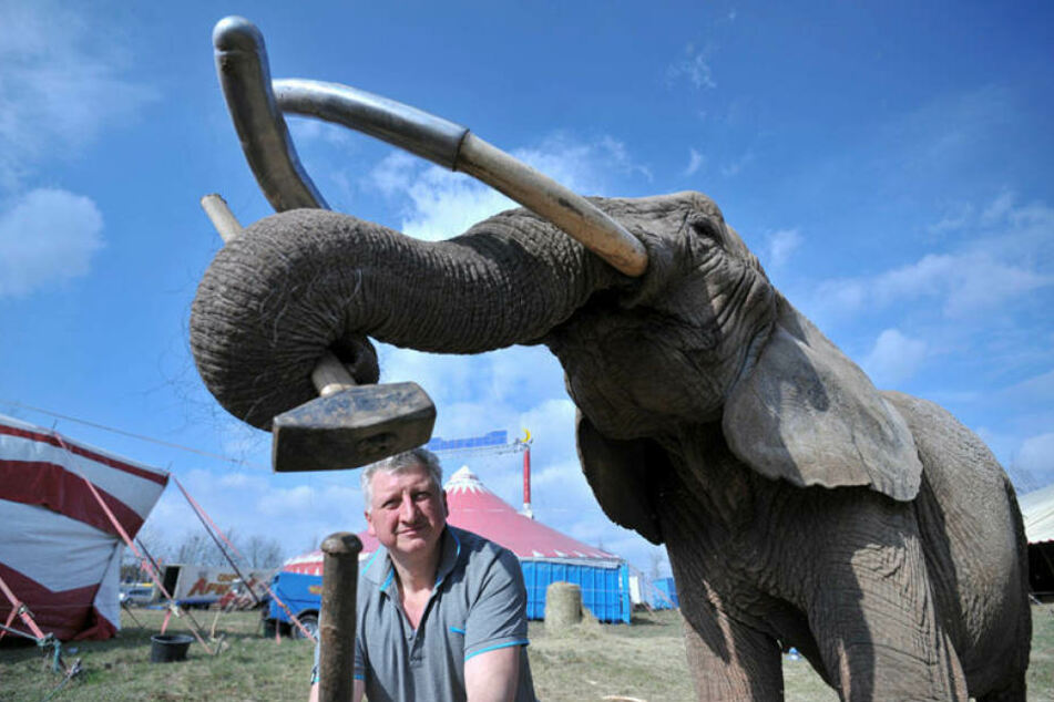 Elefanten-Dame Tonga (38) hilft Zirkus-Chef Hardy Weisheit (50) beim  Aufbau.