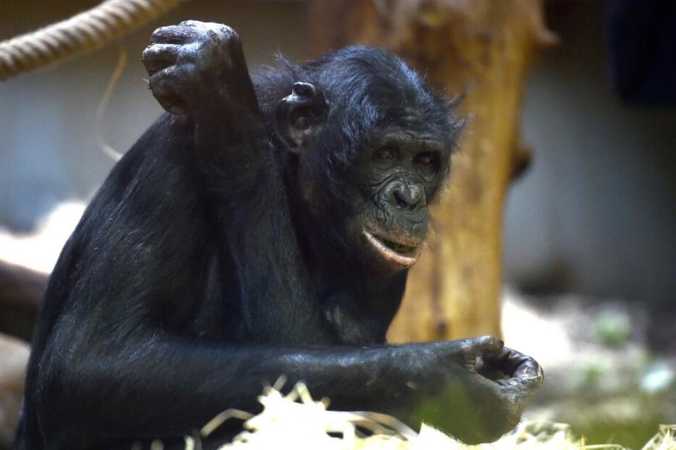 Bili, einer der Bonobos im Wuppertaler Zoo.