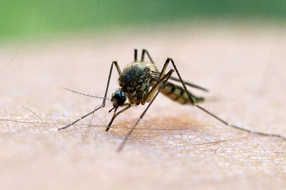 Mücken können einem das Leben schwer machen.