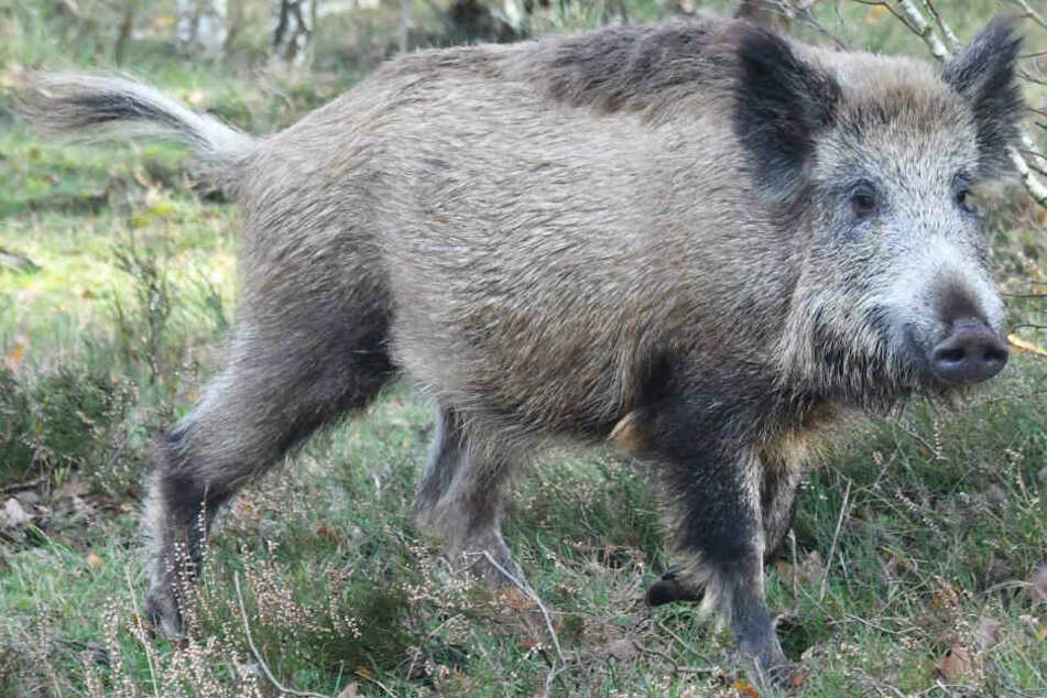 Die Zahl der Wildschweine ist im Freistaat Bayern in den letzten Jahren gestiegen.