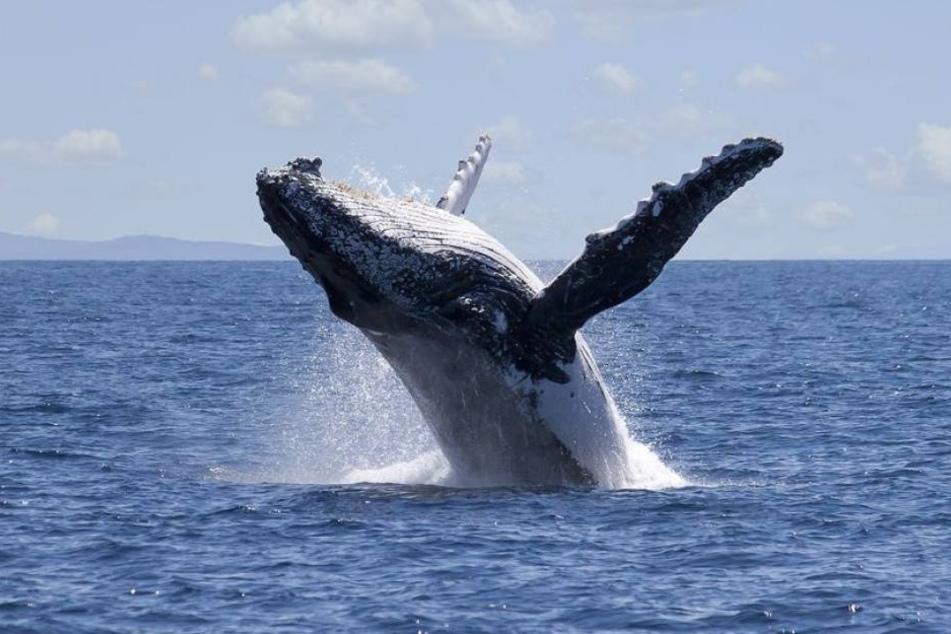 Grausam! Wale werden in kleinen Gehegen eingesperrt, damit sie illegal exportiert werden können. (Symbolbild)
