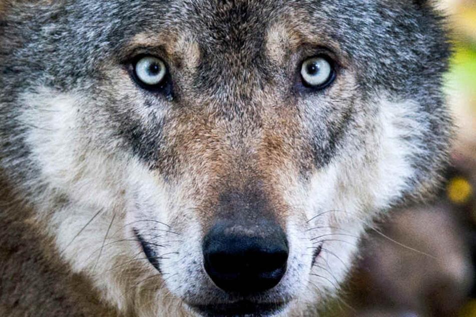 Ein Wolf soll sich dauerhaft am Niederrhein in NRW niedergelassen haben. (Symbolbild)