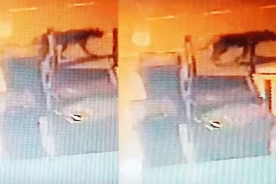 Video schockt Bewohnerin: Was ist das für eine riesige Katze?