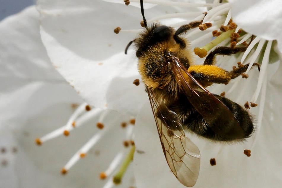 Weil nach der zu kurzen Wärmeperiode der Frost kam, haben Bienen zu wenige Nährstoffe.