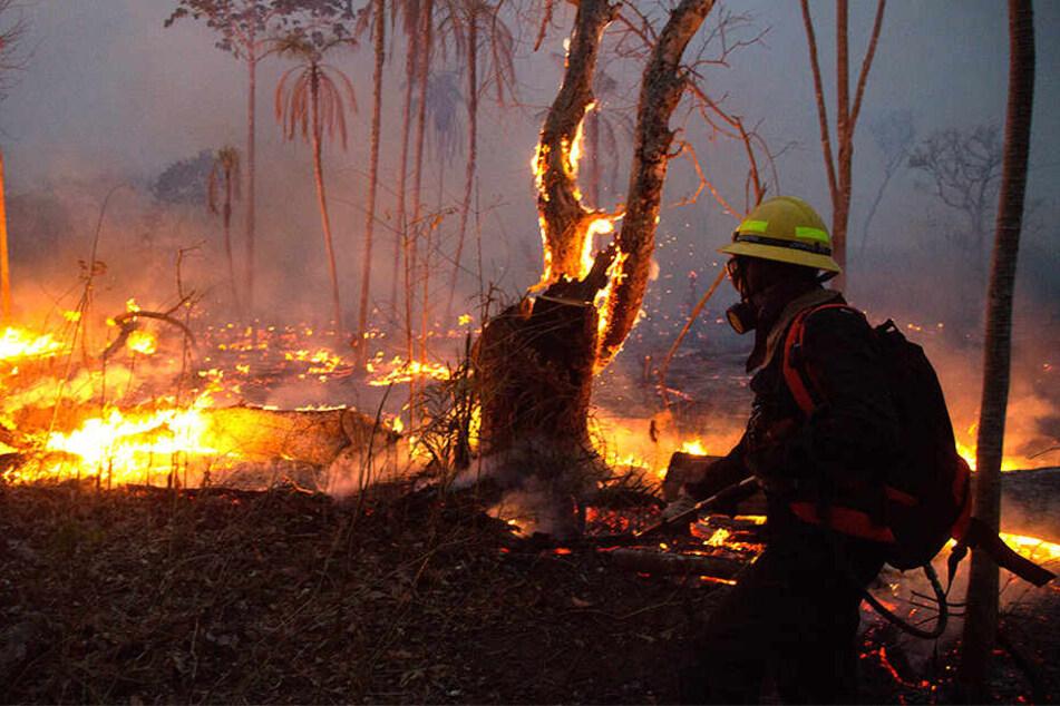Ein Feuerwehrmann kämpft verzweifelt gegen die Flammen. Der brasilianische Regenwald produziert etwa sechs Prozent des weltweiten Sauerstoffs.