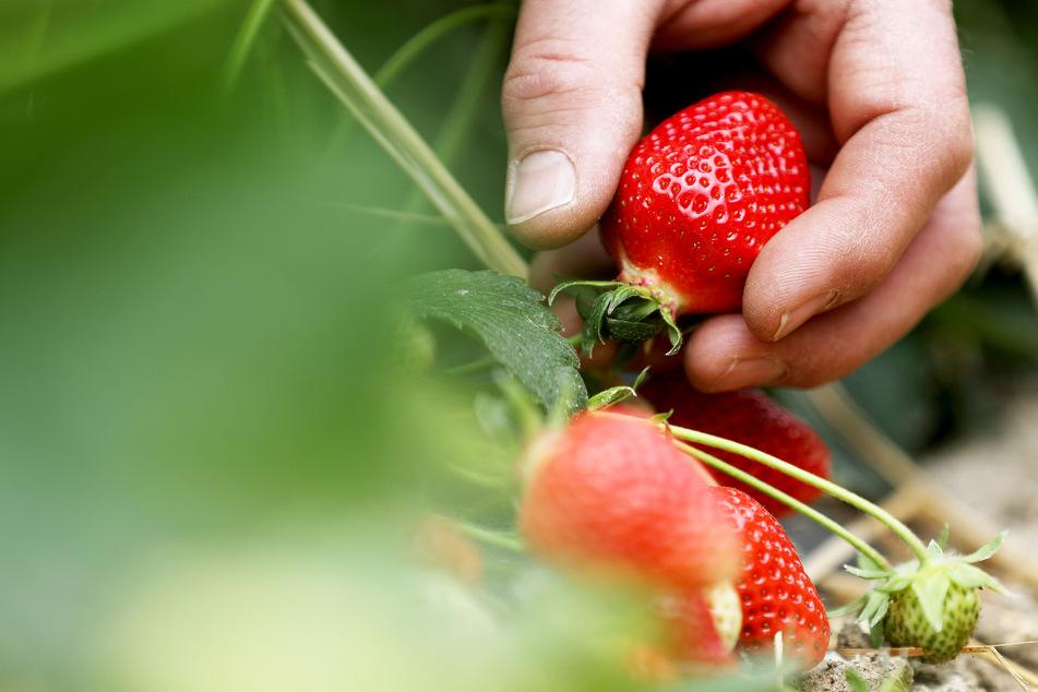 Inzwischen ist die Haupt-Erntezeit bei Erdbeeren fast vorbei. Die Erntemenge ist aufgrund des Regenwetters niedriger als in den Vorjahren.