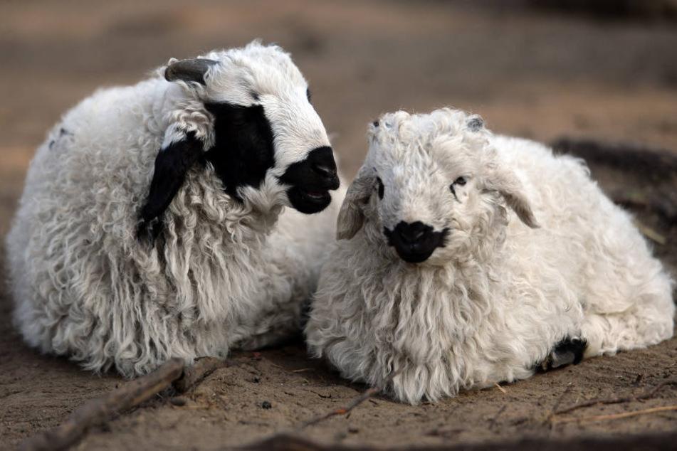 Zwei Lämmer (Mongolische Schafe) freuen sich über Eure Streicheleinheiten.