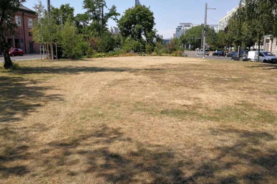 Ganze Rasenflächen in Leipzig (hier am Rabensteinplatz) sind komplett vertrocknet. Nun sollen 3000 Jungbäume mithilfe der Wasserwerke gerettet werden.