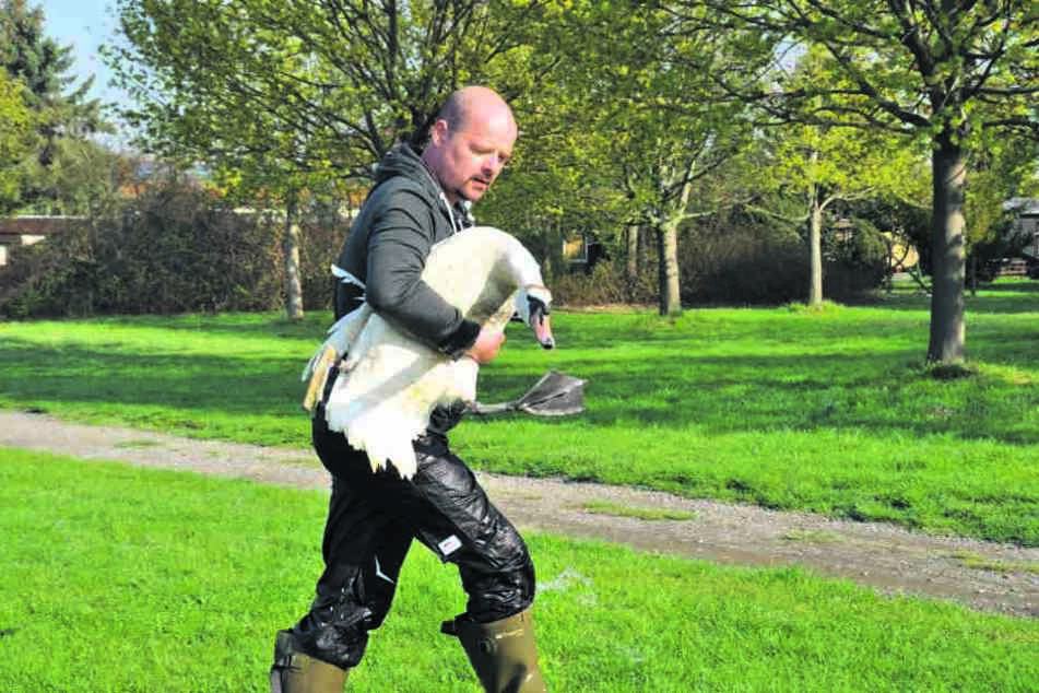 Das will gekonnt sein: Tierretter Stefan Bröckling (40) hat es geschafft, den verletzten Schwan einzufangen.
