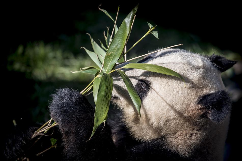 Der Panda Xing Er spielt in seinem neuen Gehege mit einer Pflanze. (Archivbild)