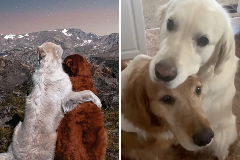 Golden retriever duo spread joy on the internet one hug at a time