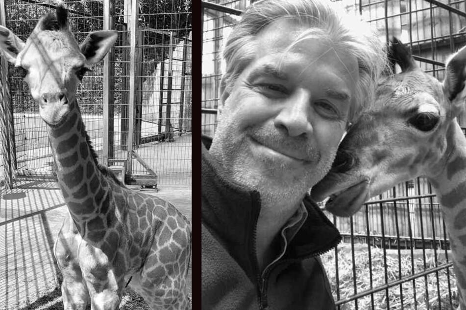 Der am 1. Juni geborene Giraffenbulle ist am Donnerstagmittag gestorben.