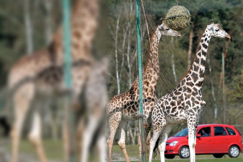 Im kommenden Jahr findet das Spencerhill-Festival im Safariland in Stukenbrock (NRW) statt.