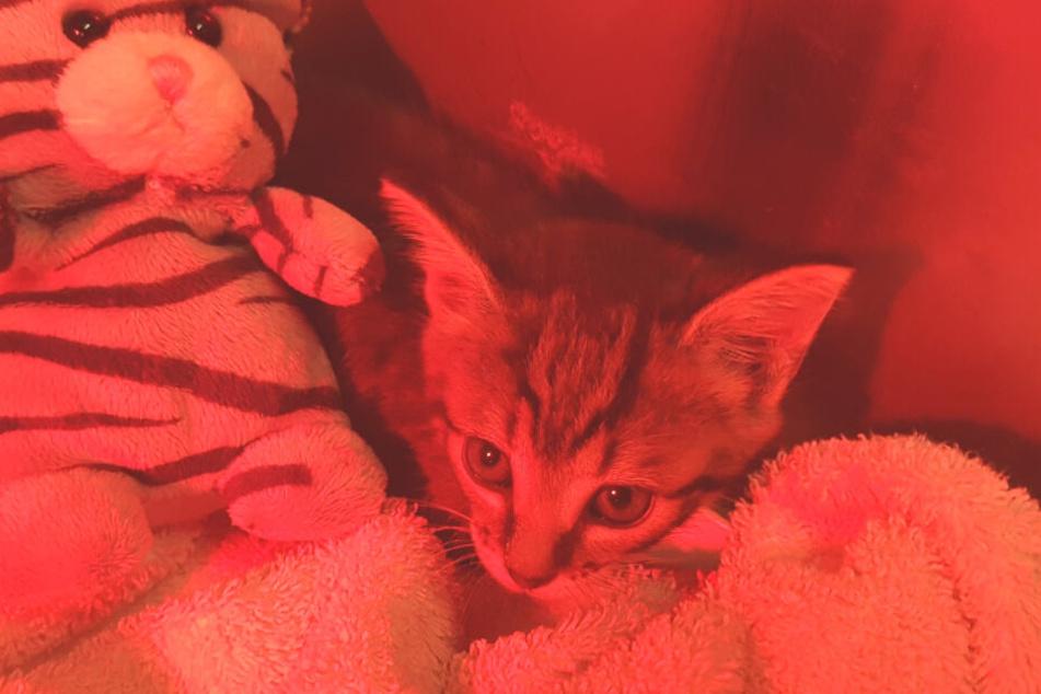 Mit Plüschtier und unter einer Rotlichtlampe kann sich das unterkühlte Kätzchen erholen.