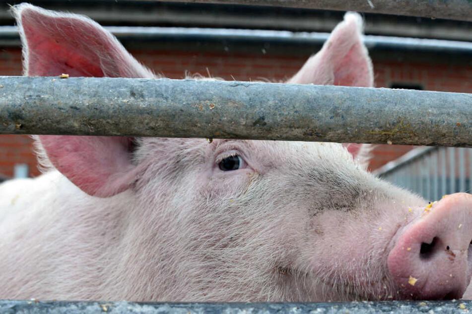 Kommt die Schweinepest bis nach Deutschland? In Belgien wurde 60 Kilometer vor der deutschen Grenze ein Fall festgestellt. (Symbolbild)