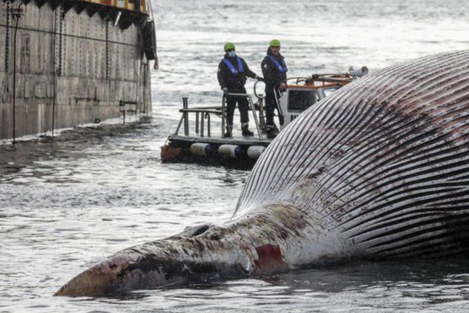 70 Tonnen schwerer Wal vor Küste angeschwemmt