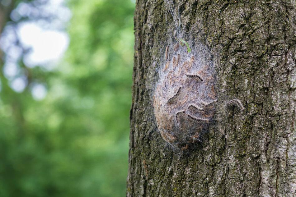 Die kleinen Raupen finden sich im Frühsommer zusammen. Ihr Brennhaare können schwere Hautreizungen und Atembeschwerden auslösen.