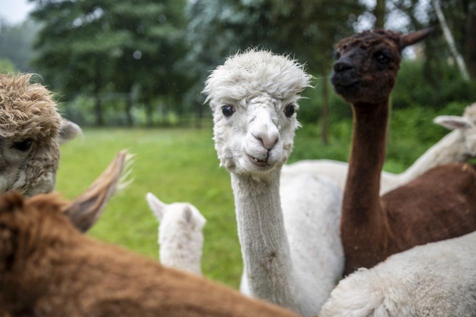 Eigentlich wurde die südamerikanische Kamelart Alpaka wegen ihrer Wolle domestiziert. Im Chemnitztal kommen die Tiere auch bei Wanderungen und Therapien zum Einsatz.