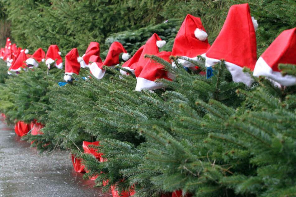 Aufgereiht mit Weihnachtsmützen stehen in Werder/Havel künftige Weihnachtsbäume.