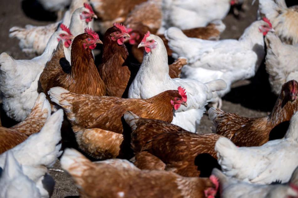 14 Hühner mussten sterben. (Symbolbild)