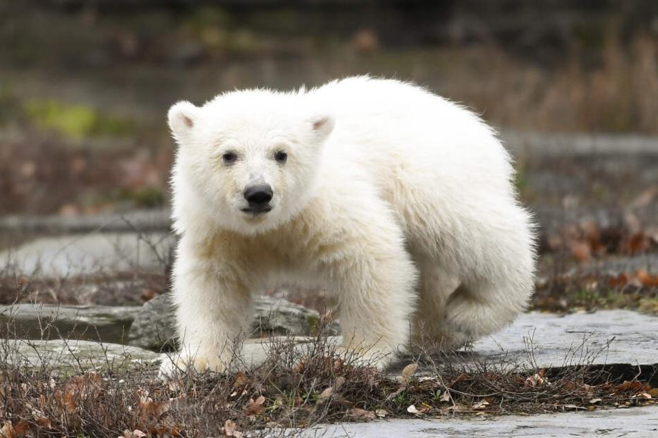 Der namenlose Eisbär sorgt für einen riesigen Besucheransturm.