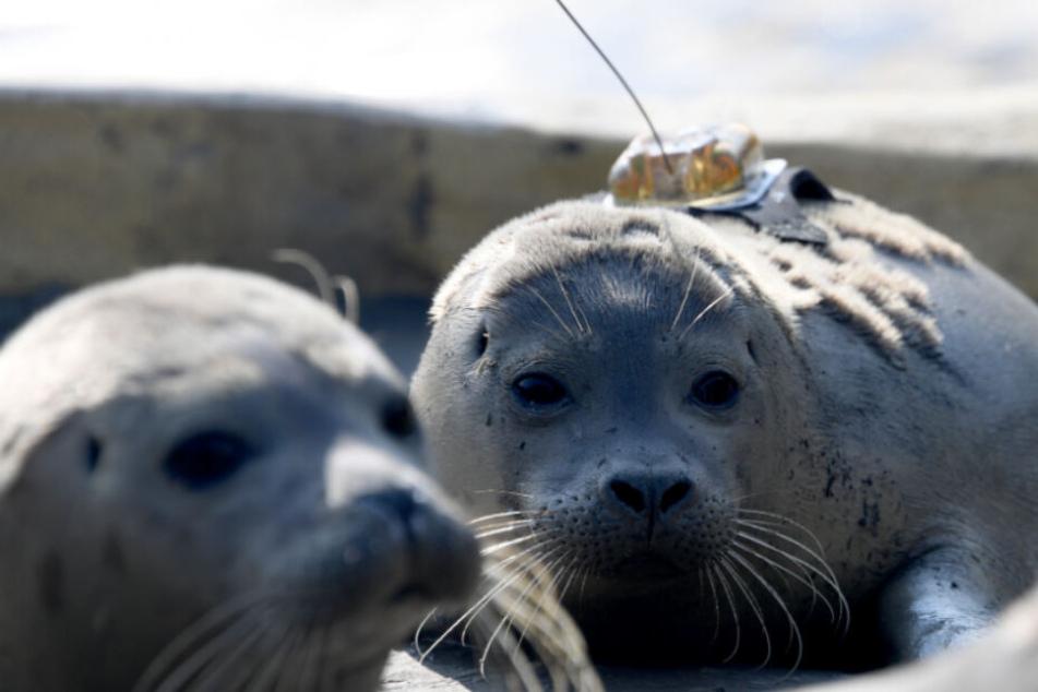 Mehr als 200 Heuler in Seehundstation wieder aufgepäppelt