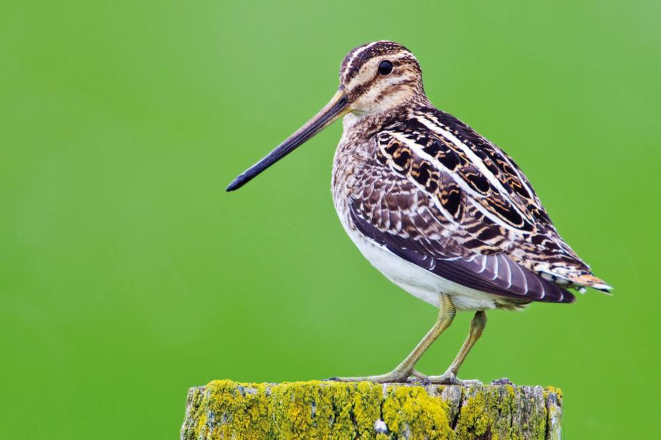 Die Bekassine ist eine der Vogelarten die zum Verbot geführt haben.