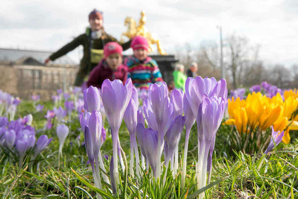 Der Frühling hält in Dresden Einzug - am Neustädter Markt blühen die Krokusse.