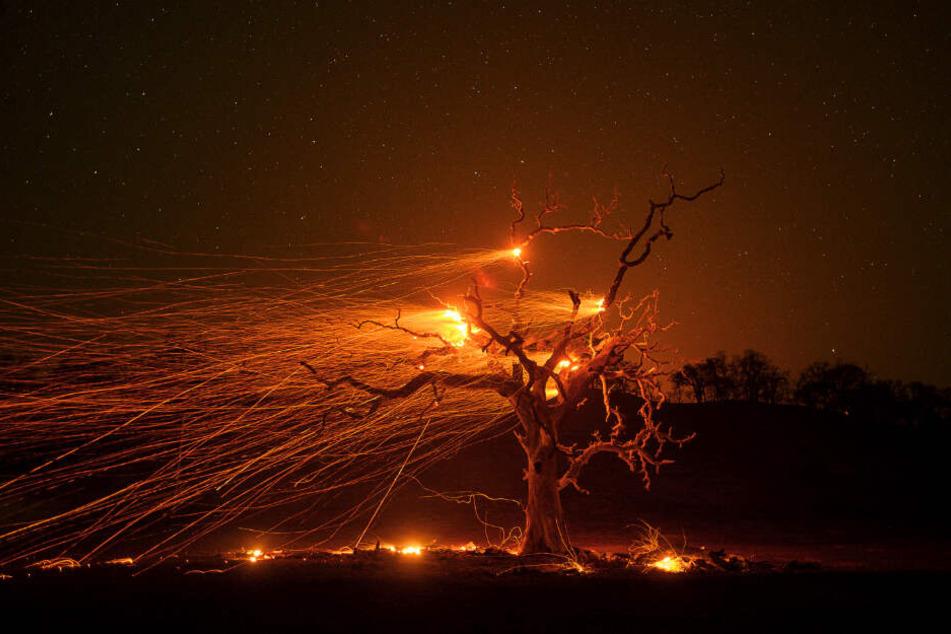 Winde fachen die Glut einer verbrannten Eiche an. Im Kampf gegen die verheerenden Waldbrände in Kalifornien müssen sich die Feuerwehren auf gefährliche Bedingungen einstellen.