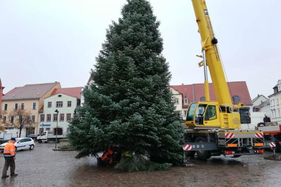 13 Meter Baum: Auch in Grimma steht nun die Tanne für den diesjährigen Weihnachtsmarkt.