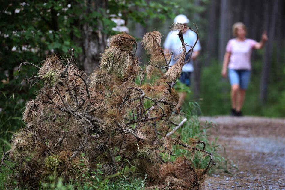 Vor Spaziergängern liegen in Deutschlands größtem Scharzkiefernwald auf dem Volkenberg bräunlich verfärbte Schwarzkiefernäste.