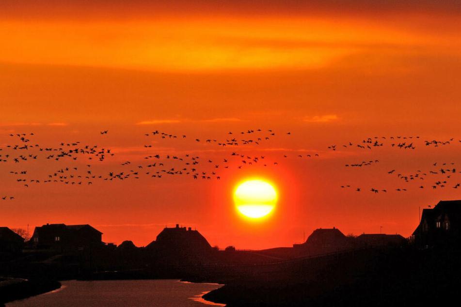 Ringelgänse fliegen vor der untergehenden Sonne über der Hallig Hooge (Schleswig-Holstein).