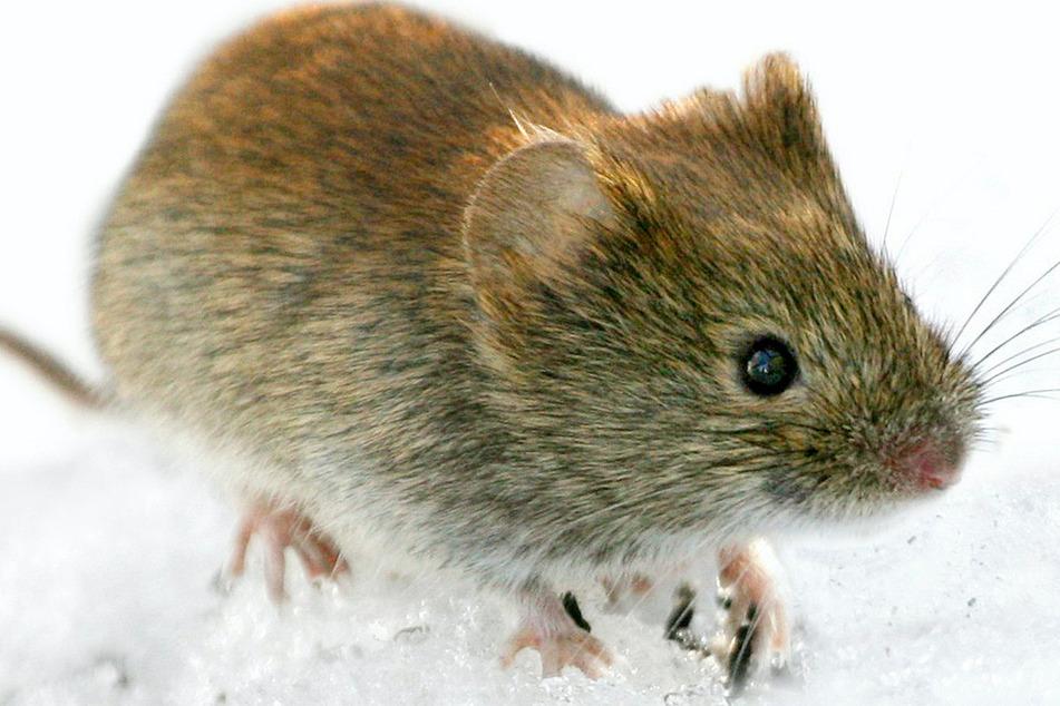 Hantaviren werden von infizierten Rötelmäusen ausgeschieden und bleiben mehrere Tage ansteckend. Werden sie etwa beim Auffegen aufgewirbelt und eingeatmet, kann es zur Infektion kommen.