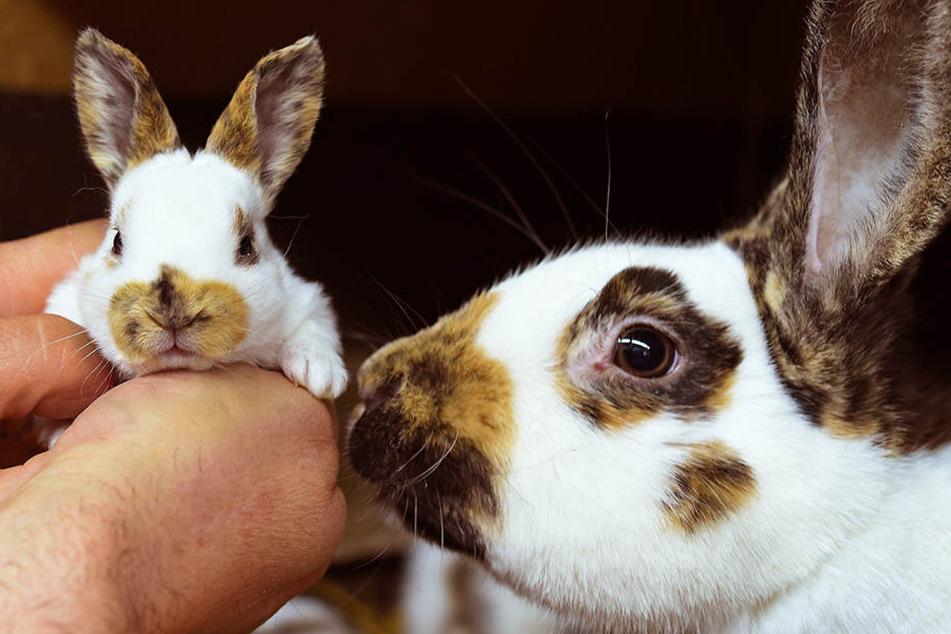 Der Unbekannte stahl drei Kaninchen aus einem Stall.