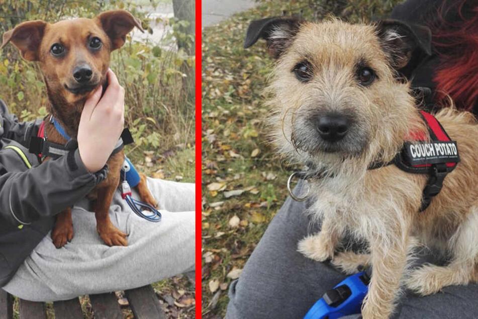 Diese beiden süßen Hunde suchen ihre Besitzer.