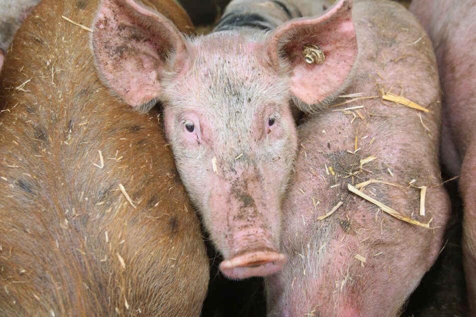 Die Schweinepest-Gefahr in Brandenburg ist weiter hoch.