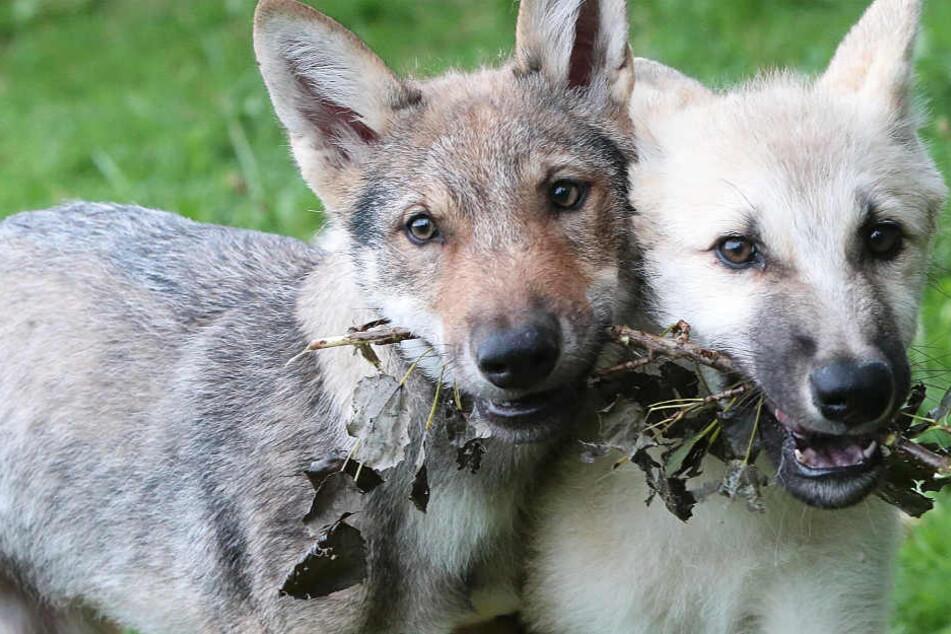 Die Wolfswelpen in Ohrdruf (Symbolbild) tragen auch Hunde-Gene in sich.