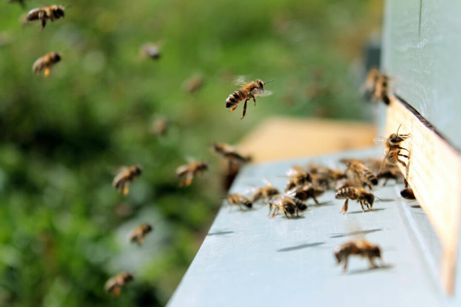 """Am Flughafen Köln/Bonn sind in diesem Jahr viele Bienen als """"Umweltdetektive"""" im Einsatz."""