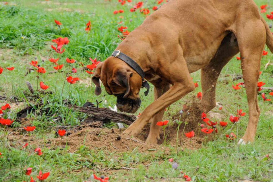 Bei einem Spaziergang buddelte der Hund den gefährlichen Fund aus. (Symbolbild)