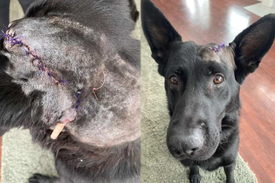 Hündin Deebo erlitt während der Attacke heftige Kopfverletzungen.