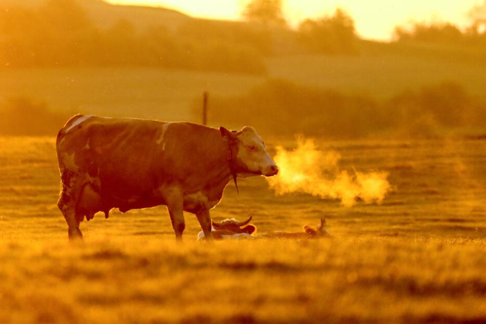 Die wilde Kuh konnte später auf dem Hof eingefangen werden. (Symbolbild)