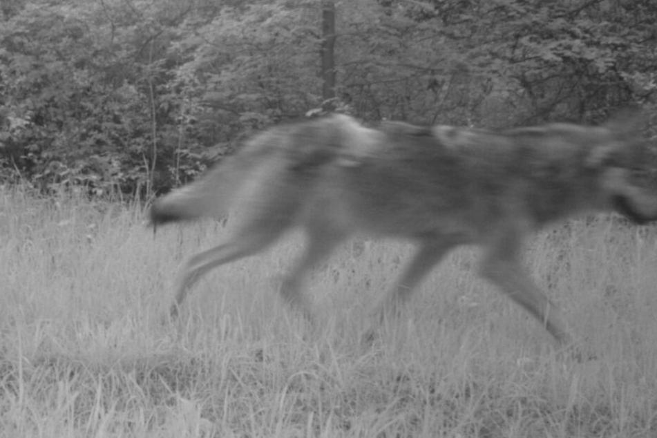 Neuer Wolf in Thüringen unterwegs? Männchen bei Wölfin entdeckt