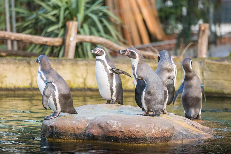 Sie sind für viele die Lieblinge im Zoo: Wegen der vielen Schnäbeleien hofft der Chef jetzt auf Pinguin-Nachwuchs.