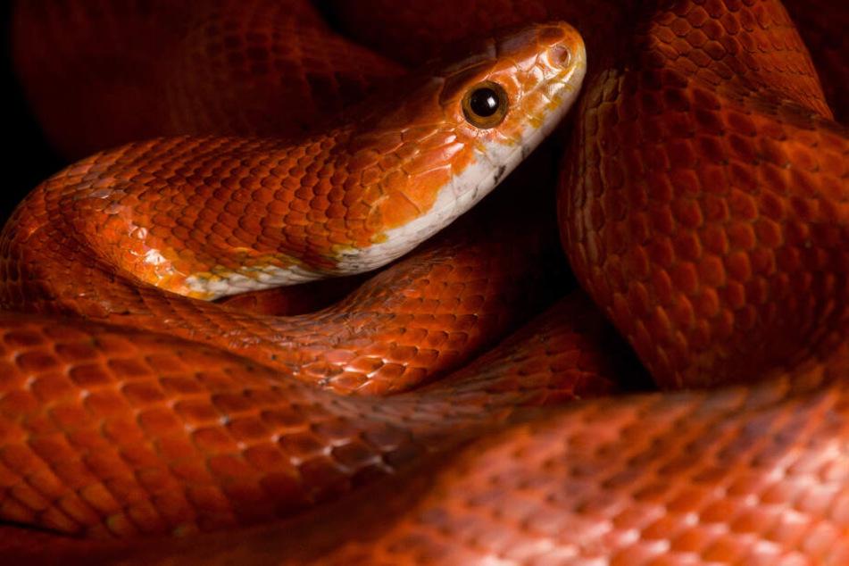 Zum Schutz der Bürgerinnen und Bürger will die Landesregierung die Haltung von besonders giftigen Tieren verbieten. (Symbolbild)