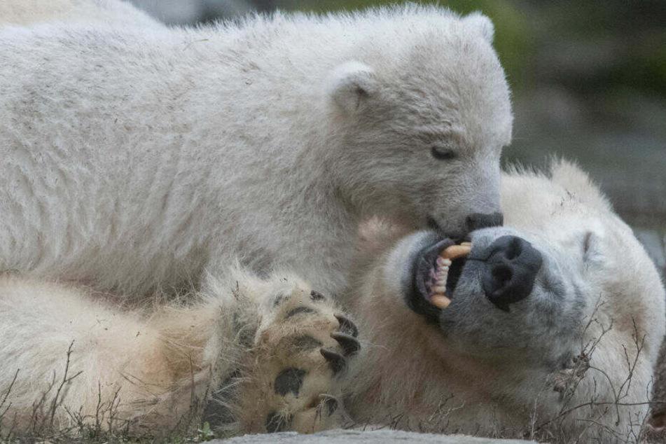 Das kleine Eisbären-Mädchen beim Spielen mit Mutter Tonja.