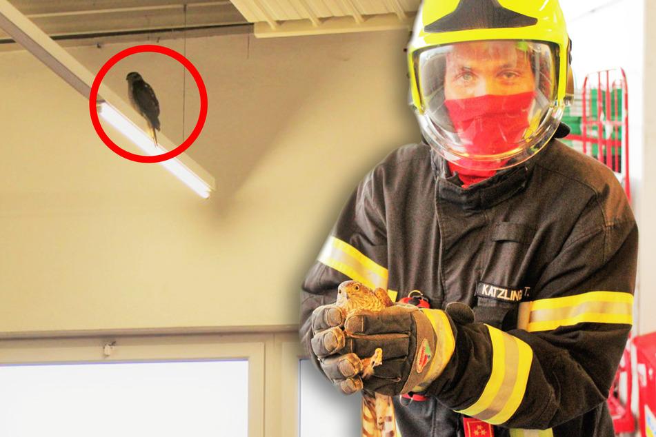 Außergewöhnlicher Feuerwehreinsatz: Falke fliegt in Supermarkt und findet nicht mehr heraus!