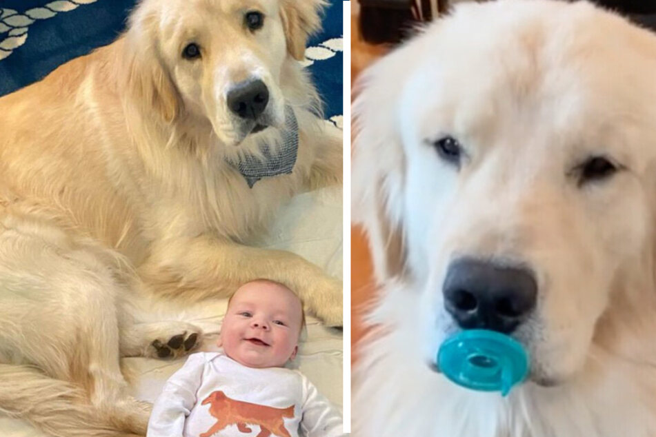 "Golden retriever wants to share everything with his new baby ""brother"""