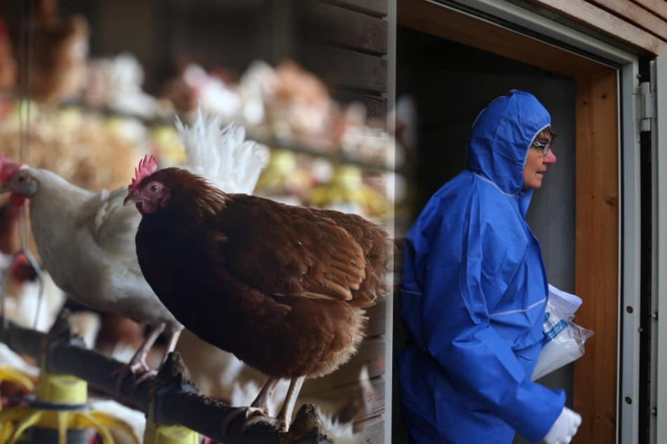 Baden-Württembergs Geflügelhalter fürchten einen neuen Vogelgrippeausbruch im Winter.  (Archivbild)